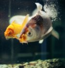 Pick a pet: - Image of two fish in a tank