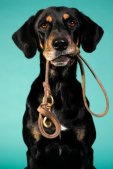 Image of dog holding his leash waiting to be walked
